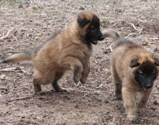 Honey%20Max%20puppies%20040307