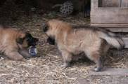 Honey%20Max%20puppies%20040307%208