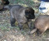 Honey%20Max%20puppies%20100207%20blue%20boy